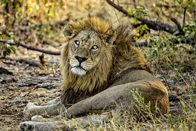 A Wounded Lion