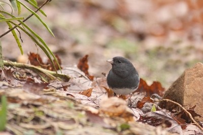 The Juncos are Back