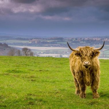 Longhorn cow photographed during stormy weather near Westbury White Horse, Westbury, UK.