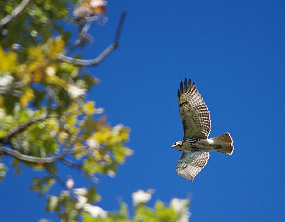 Hawk swooping in closer