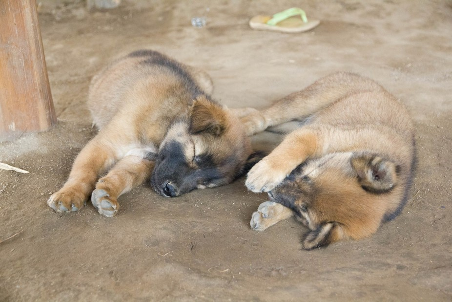 Sleeping puppies at a Hilltribe village in Northern Thailand.