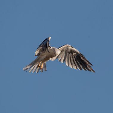 White Tailed Kite-5060