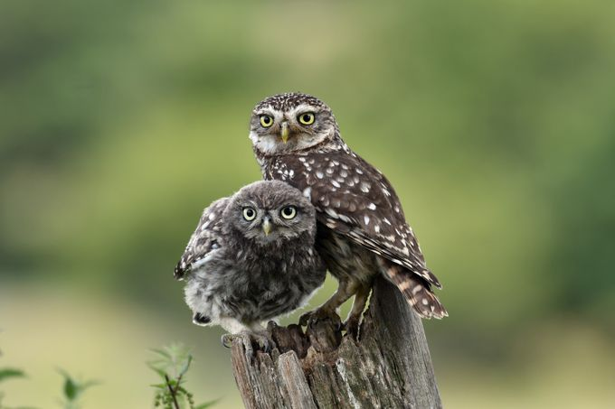Inquisitive by NedBurrell - Only Owls Photo Contest