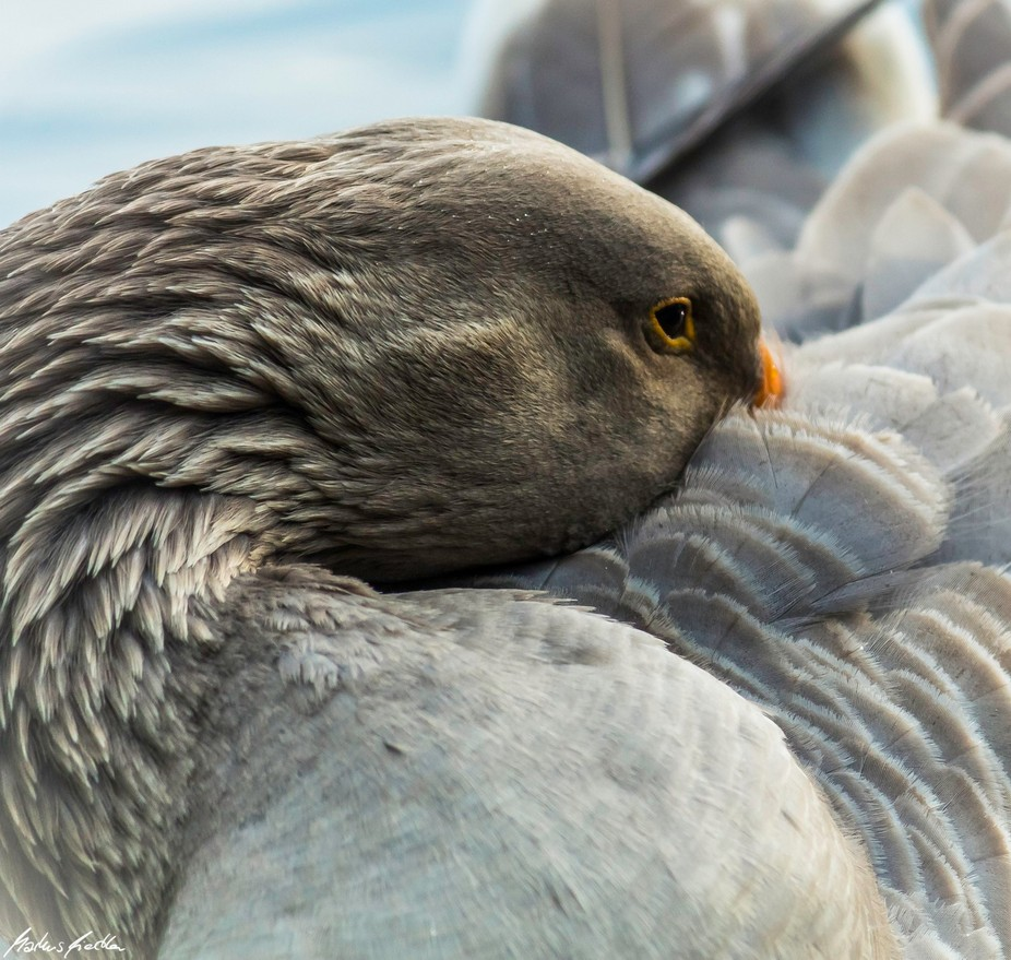 Grey Goose