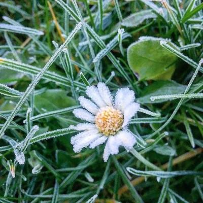 Petals of Ice