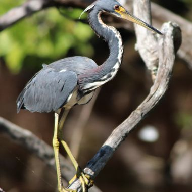Tricolored Heron on Branch 2