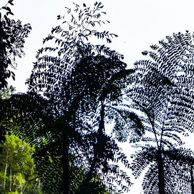 Tree ferns shot in Borneo.