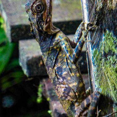 Borneo Rain Forest Lizard.