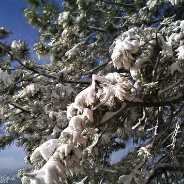 Snow on Ponderosa pine boughs against the blue sky