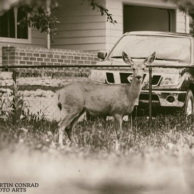 Deer pausing while sauntering through the neighborhood