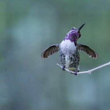 Very happy Costa's Hummingbird dancing.
