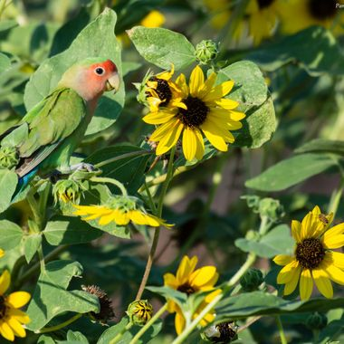 Peach or Rosy Face Lovebird hanging out in the Sunflowers