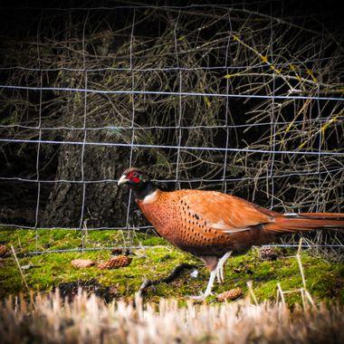 Mr P patrolling the fenceline.....