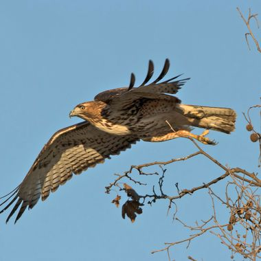 Red-Tailed Hawk IMG_5489