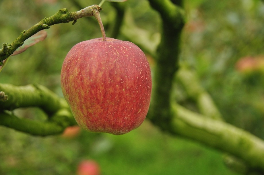 Location: Batu, Indonesia  Apple is the number one commodity produced by the peasants of Batu Cit...