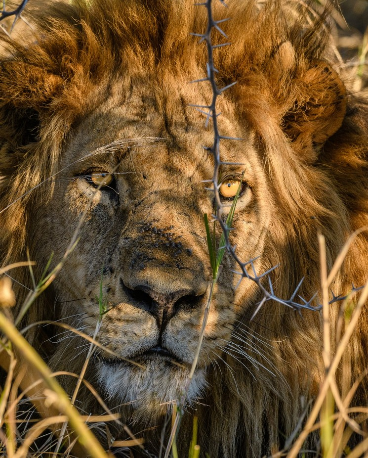King of Botswana II by JoeS - Stillness Photo Contest