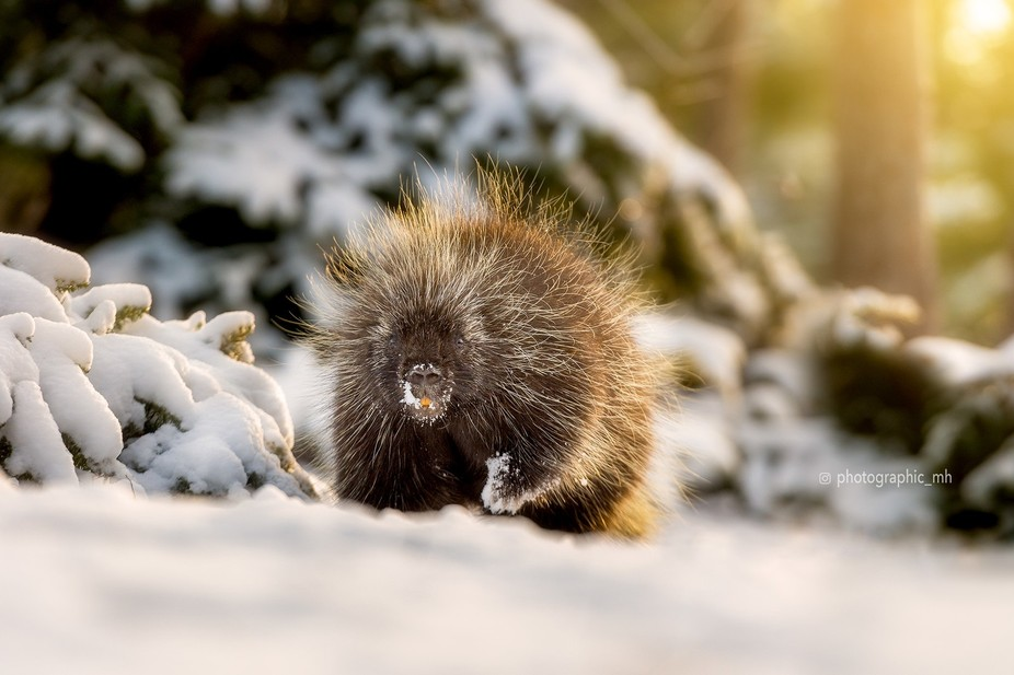 Alert porcupine
