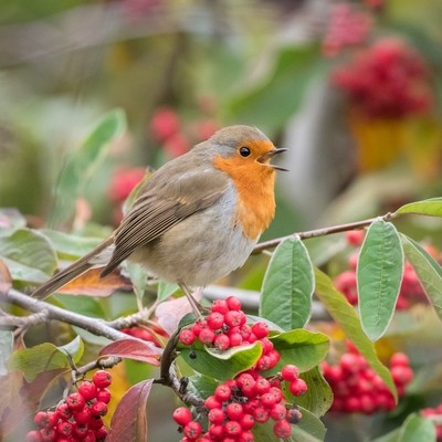 Robin and berries