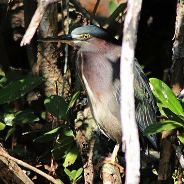 Green Egret in Trees