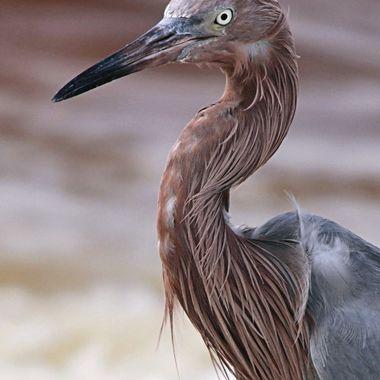 Reddish Egret 2