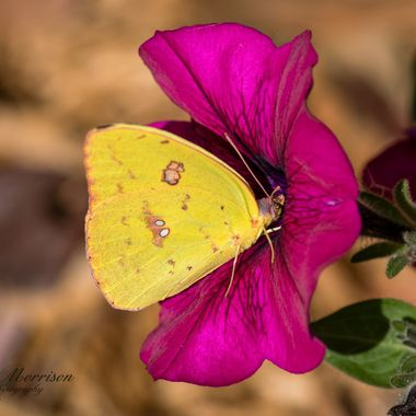 Yellow Butterfly on Purple