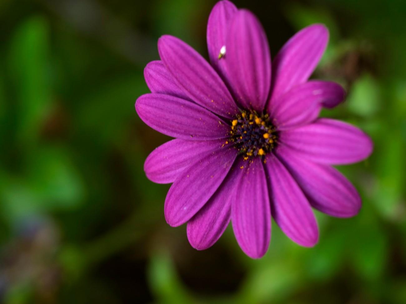 just a simple single purple daisy macro bokeh shot from my garden