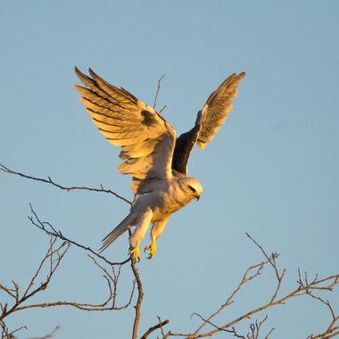 Wwhite-tailed kite-5497