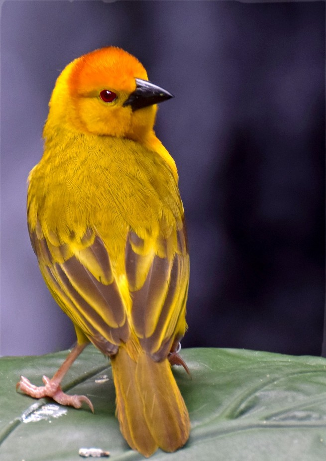 Taveta Golden Weaver Bird reworked