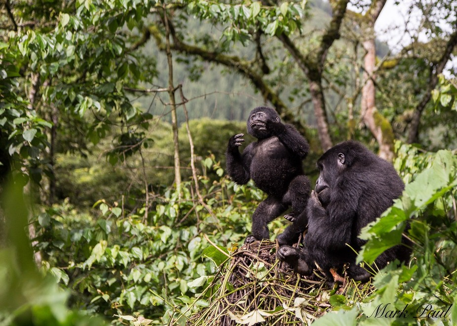 Gorillas in Bwindi Impenetrable Forest, Uganda