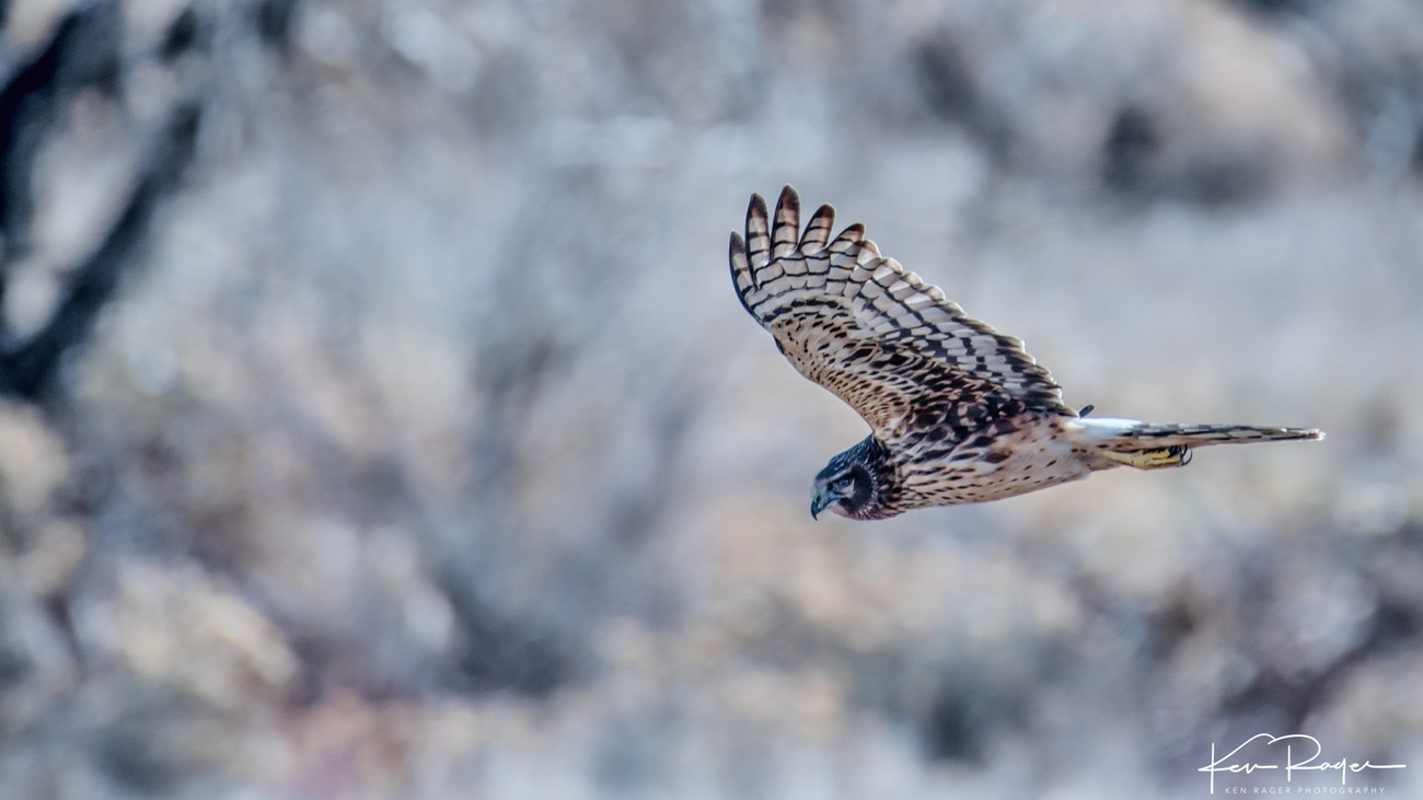 Northern Harrier hawk 2