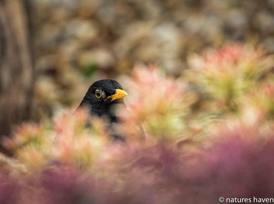 Male Blackbird trying to hide in the bushes.