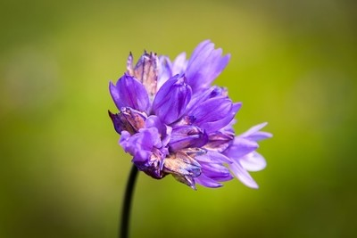 Bluedick Flower