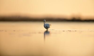 Little Egret - Sunset