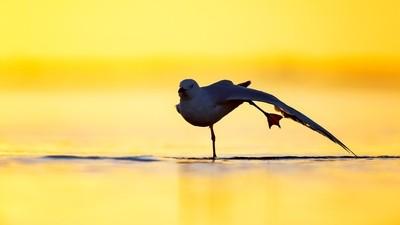 Silver Gull - Stretch