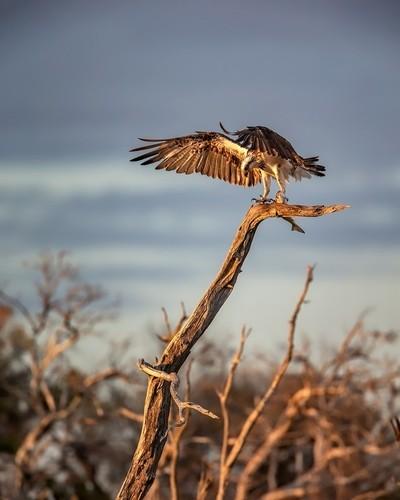 Eastern Osprey - Fish - Sunrise