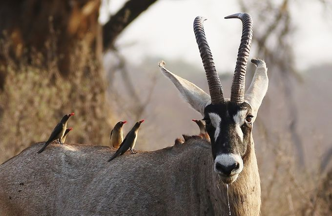 Roan antelope and ox-peckers by joankleynhans - Rule Of Thirds Photo Contest v3