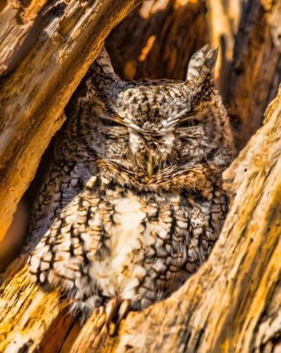 Sunning Owl