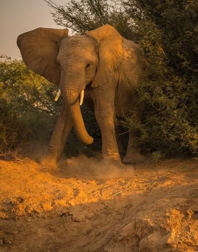 Desert Elephant. Namibia