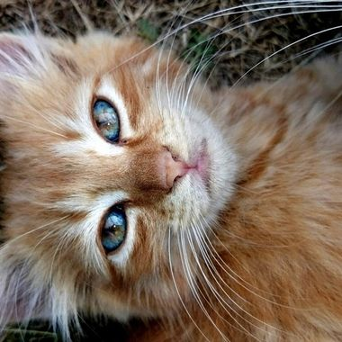 Orange kitten with beautiful eyes