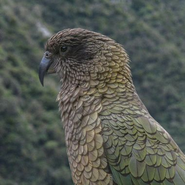 Kea   world's only Alpine parrot