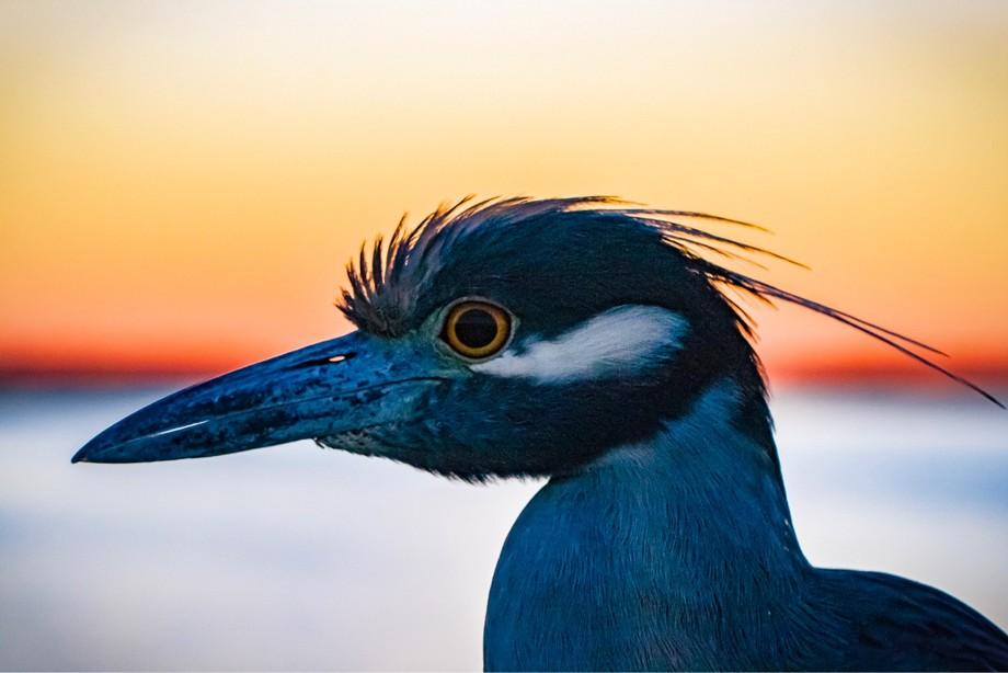Beautiful Night Heron