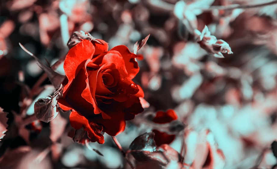 This picture had some very interesting editing work done to it, there was green in the background before and then I added a few filters and brought out the red in the rose some how getting rid of the green but creating a very beautiful yet abstract scene.