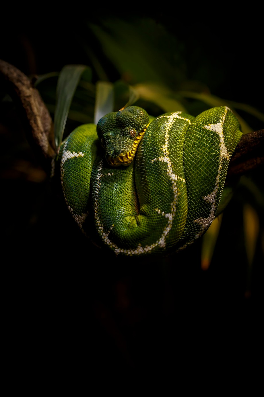 Emerald Boa by panilsson - Snakes Photo Contest
