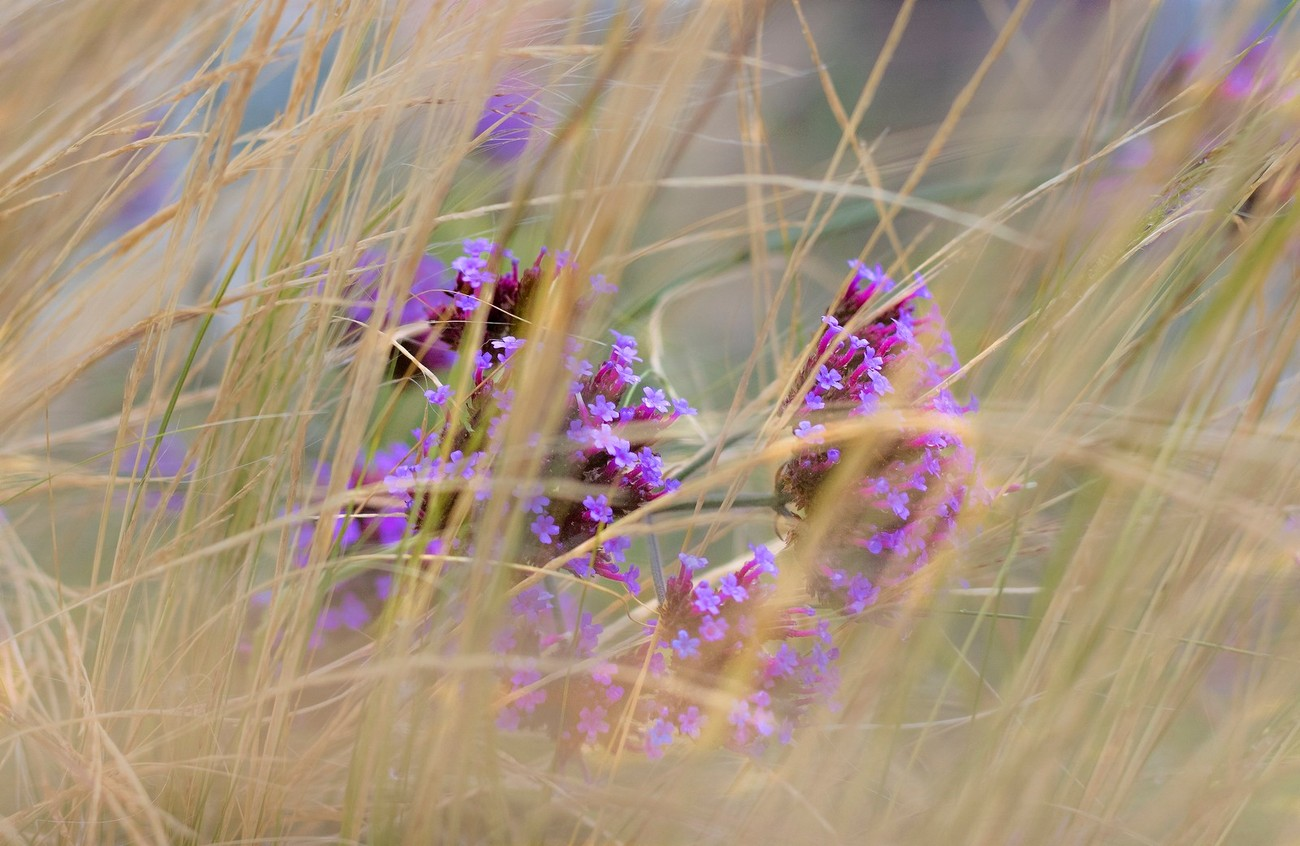 Purple in the blowing grass