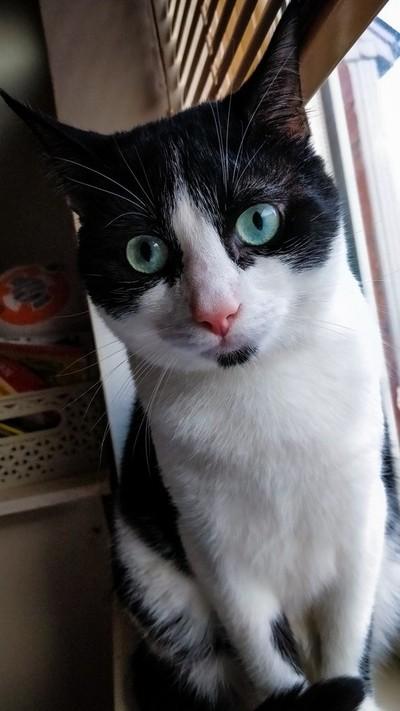 Chef The Tuxedo Cat