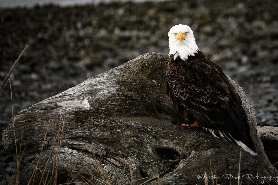 This bald eagle and I had a staring contest. The photo was taken on the Homer Spit in Homer, Alaska.
