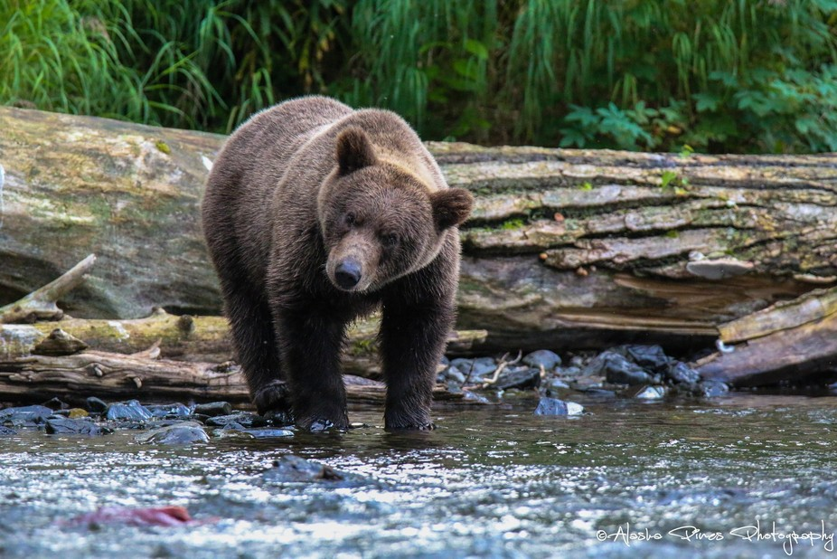 This yearling brown bear cub was learning how to fish for salmon, while mom and a sibling rested in the near bushes.