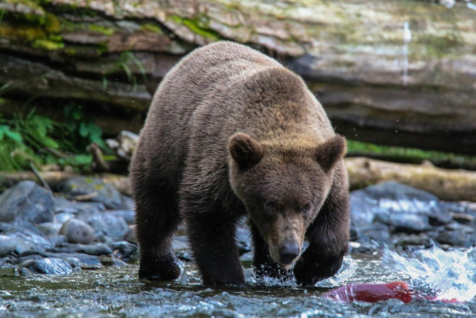 Brown bear cub learning how to fish for red salmon in the rivers of Alaska.