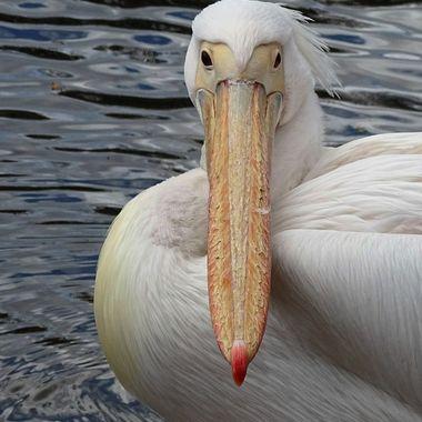 Pelican Gaze
