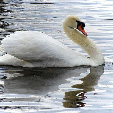 Swan in ripples